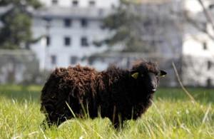 mouton-parc-des-archives-paris-eco-paturage-gavarni-hotel