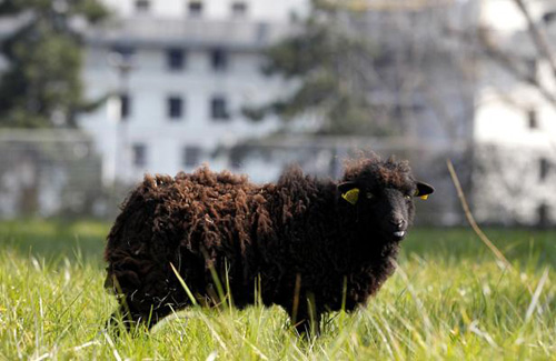 Archives Park, Paris: sheep as lawn mowers!