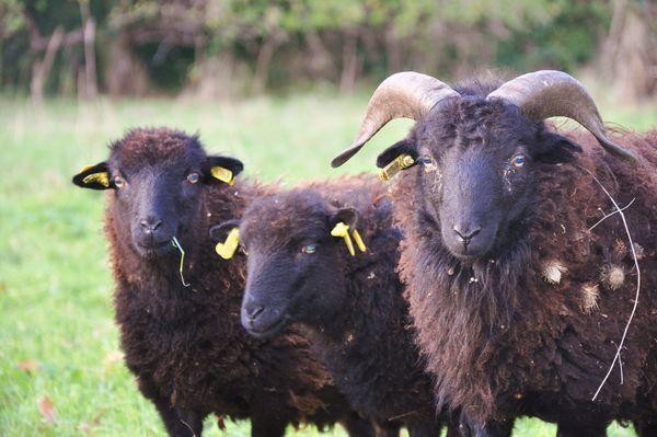 moutons-d-ouessant-operation-ecomouton-2015-avenue-de-breteuil-green-hotels-paris-eiffel-trocadero-gavarni