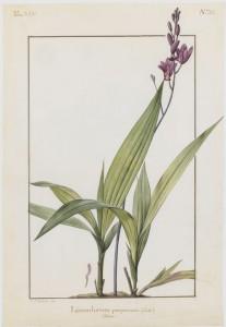 nicolas-robert-1614-1685-orchis-sp-MNHN-Dist-RMN-tony-querrec-jardin-des-plantes-green-hotels-paris-eiffel-trocadero-gavarni