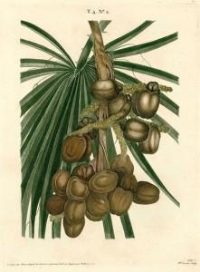 regime-du-palmier-doum-credit-duhamel-du-monceau-1809-exposition-aventures-botaniques-en-orient-jardin-plantes-green-hotels-paris-eiffel-trocadero-gavarni