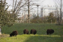 The Ouessant herds of sheep are back in Paris to maintain the slopes of the Paris ring-road!