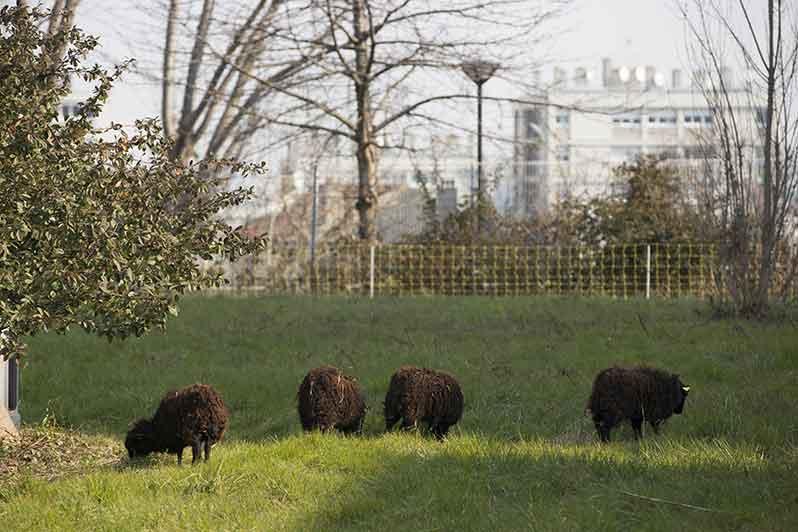 Les moutons d'Ouessant sont de retour à Paris pour entretenir les talus du périphérique !