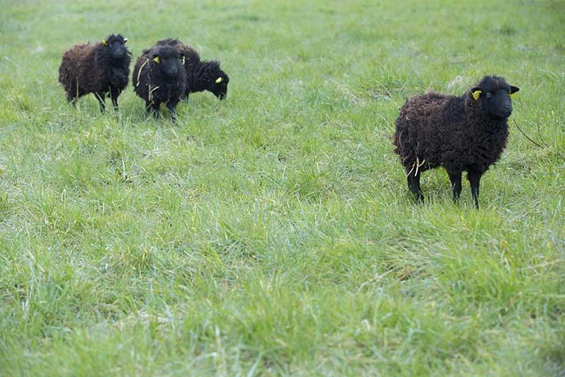moutons-brebis-noires-ouessant-eco-paturage-archives-paris-2013-photographe-sophie-robichon-mairie-de-paris-green-hotels-paris-eiffel-trocadero-gavarni