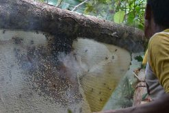Exposition : Indonésie, les fermiers du miel