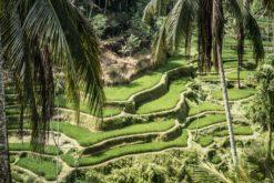 Réchauffement climatique : deux fois plus d'arsenic dans le riz