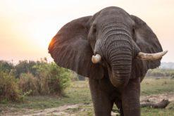 L'éléphant d'Asie, menacé d'extinction, va enfin être protégé