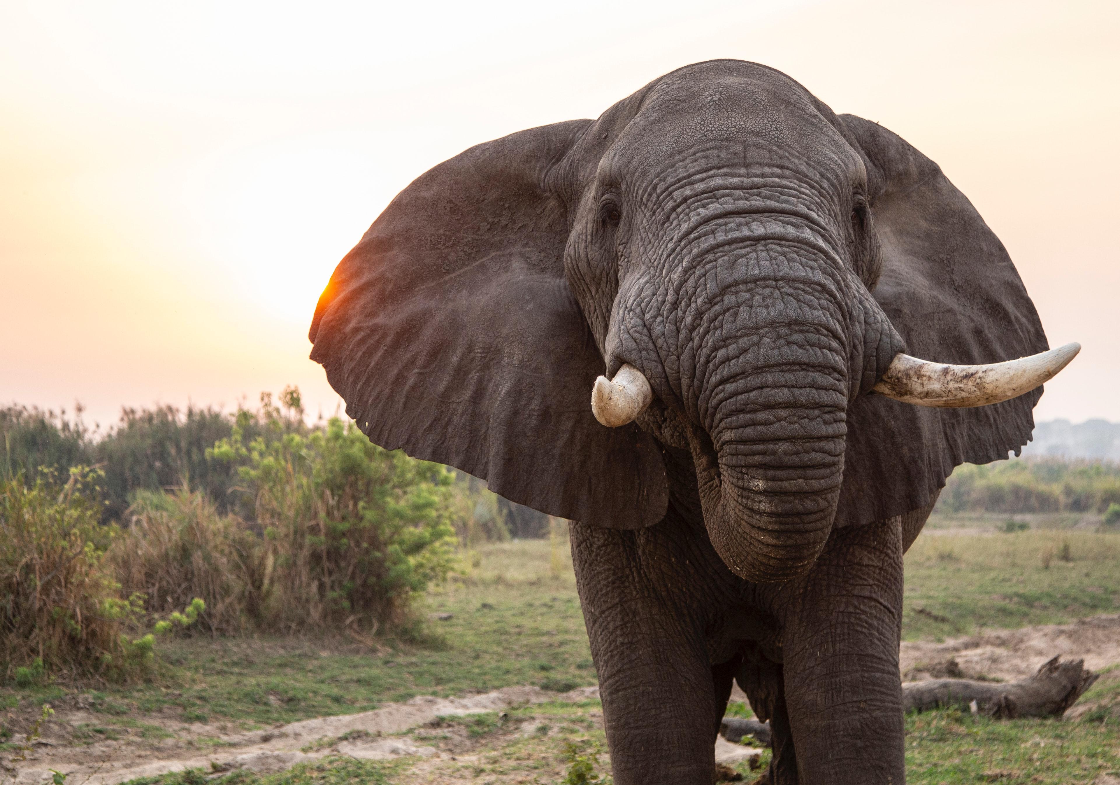 (Français) L'éléphant d'Asie, menacé d'extinction, va enfin être protégé