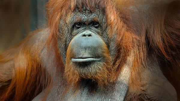 Exhibition: Sur la piste des grands singes