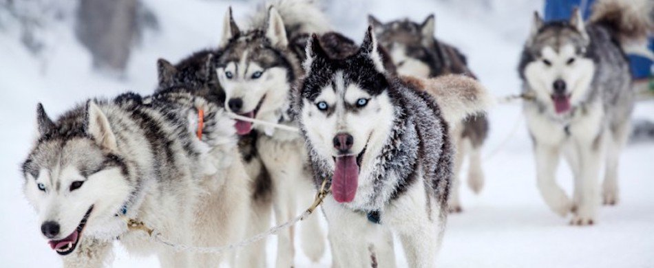 A dog sled ride in the forest of Fontainebleau