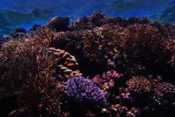 Quelles solutions pour sauver les coraux ?